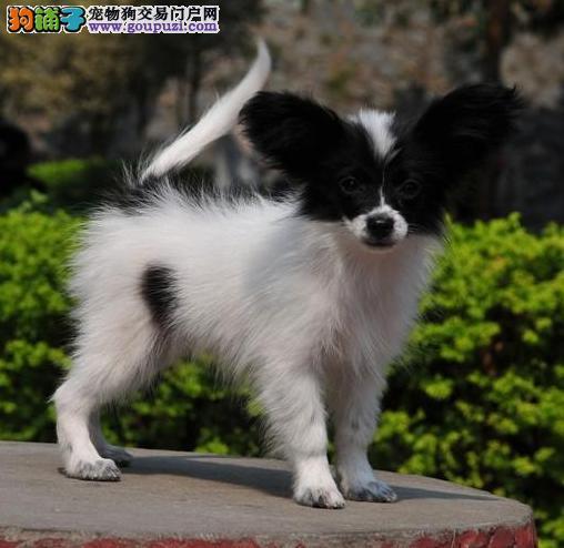 出售活泼机灵蝴蝶犬幼犬质保疫苗驱虫齐全