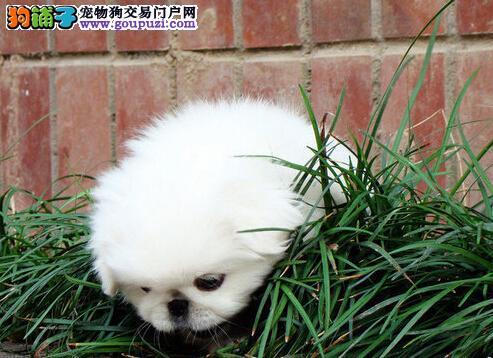 古老漂亮的宫廷犬种京巴犬宝宝出售 保纯保健康