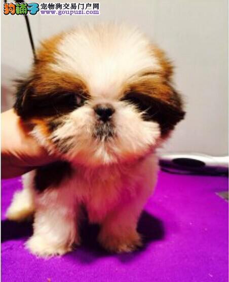 纯种赛级西施犬幼犬狗狗出售三色两色宠物狗