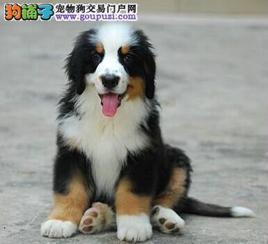 纯种家养赛级伯恩山犬幼犬伯恩山犬纯种幼犬宠物狗