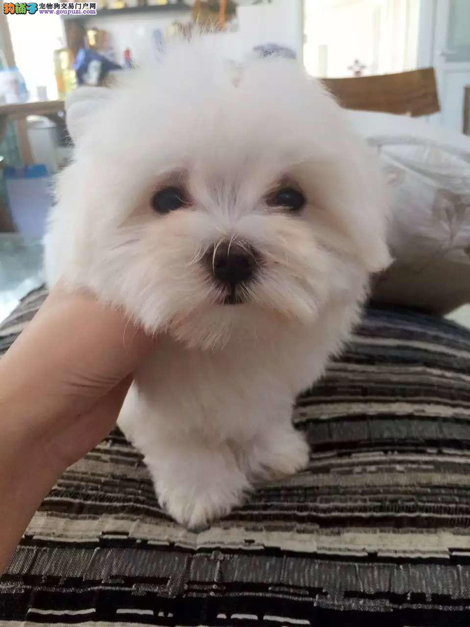 出售纯种马尔济斯幼犬 健康保证 信誉保证