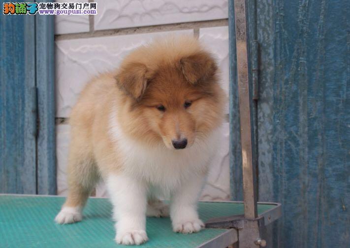 广州哪里买狗最好尚雅狗场低价出售黄白,三色苏牧幼犬