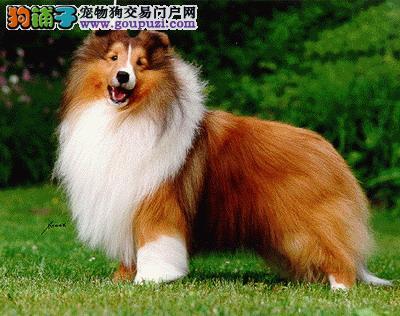大连最大犬舍出售多种颜色喜乐蒂欢迎您的光临