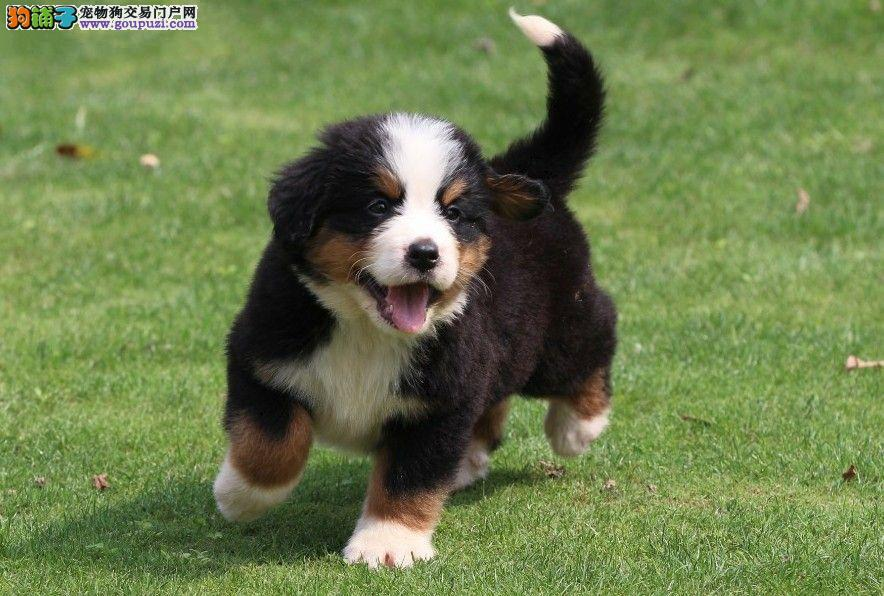 体型高大性格温顺 忠实伴侣犬伯恩山幼犬 宝宝品相好