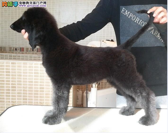 直销阿富汗猎犬幼犬、品质极佳品相超好、诚信经营保障