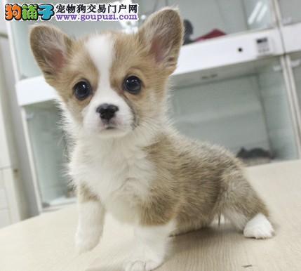 CKU认证犬舍出售极品柯基幼犬包纯种健康
