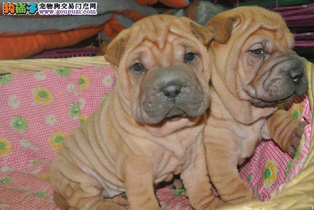 正规狗场 专业繁殖沙皮犬 保证纯种健康毛色纯正