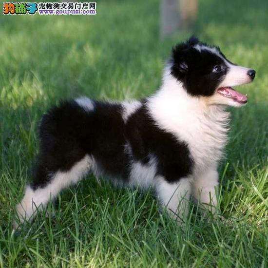 出售家养3个月大的纯种深雕色喜乐蒂幼犬