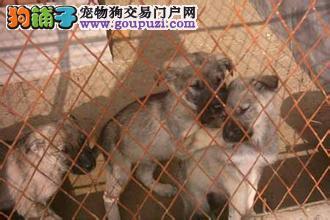 武汉市哪里有卖日本狼青/狼青价格