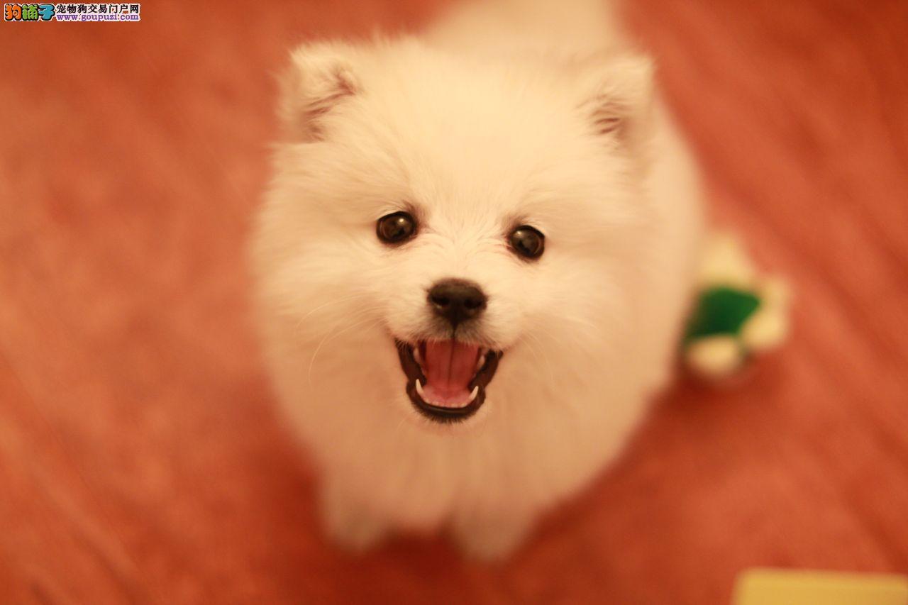高品质银狐犬纯种健康、签订协议 上门低价 送用品