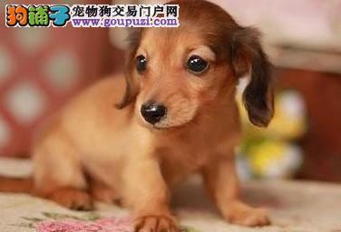 出售家养纯种德国腊肠犬,短毛好打理,价格面议。