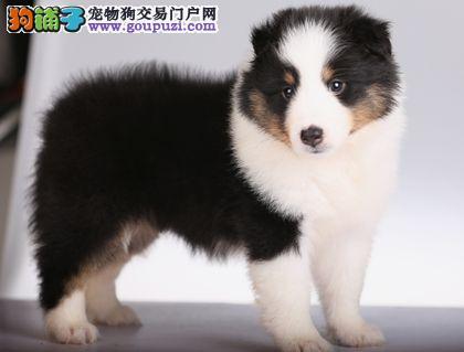国际注册犬舍 出售极品赛级喜乐蒂幼犬微信选狗直接视频