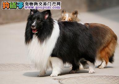 多种颜色的赛级喜乐蒂幼犬寻找主人签订三包合同
