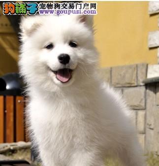 专业繁殖银狐犬血统纯种品质优良疫苗齐全包三个月