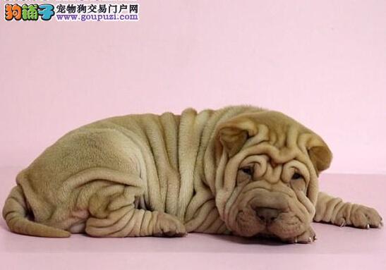 出售精品  沙皮幼犬  包纯种包健康