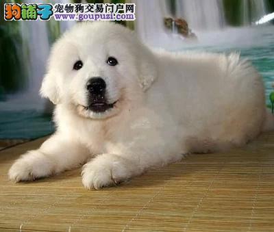 极品大白熊犬特价 疫苗做好 签协议 保售后