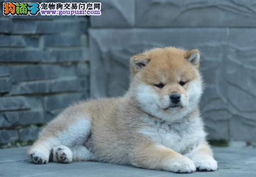 赛级柴犬幼犬、精心繁育品质优良、诚信经营保障
