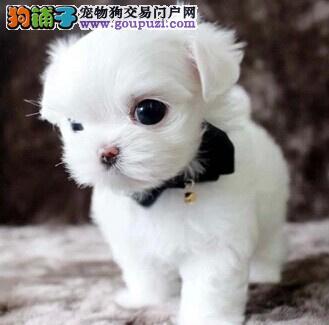 热销多只优秀的纯种马尔济斯幼犬签订终身纯种健康协议