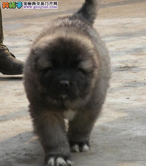 出售巨型熊版高加索幼犬 多窝选择 看家护院护卫犬