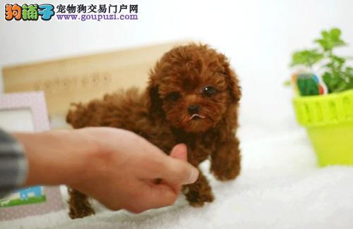 深圳哪里有卖茶杯犬 纯种茶杯犬长大不超两斤
