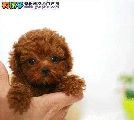 出售纯种健康袖珍狗狗长不大的茶杯狗宝宝