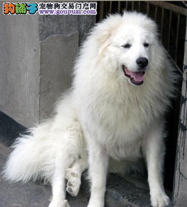 大白熊,纯种幼犬出售,可以空运,签协议全国销售