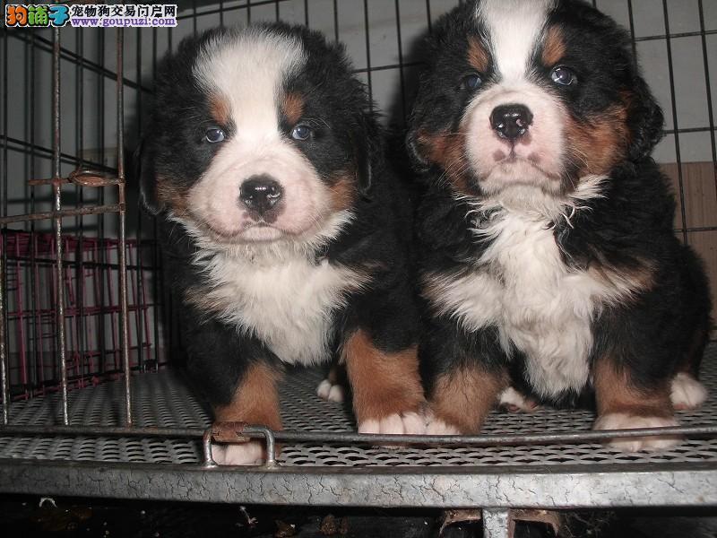 烟台CKU认证犬舍出售高品质伯恩山价格美丽非诚勿扰