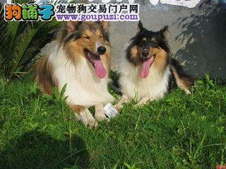 广州哪里有苏牧幼犬卖纯种苏牧首选时代犬业
