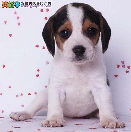 武汉养殖场直销完美品相的比格犬质保协议疫苗驱虫齐全