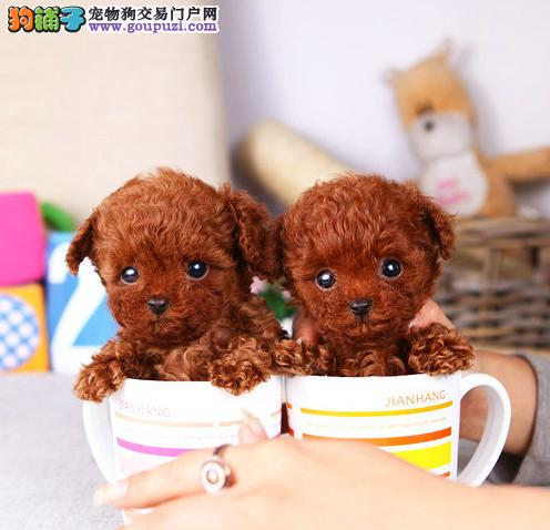 成都犬舍直销、纯种泰迪犬、茶杯型玩具型、签协议