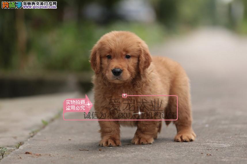 成都犬舍直销、纯种金毛犬、签协议包养活包纯种健康