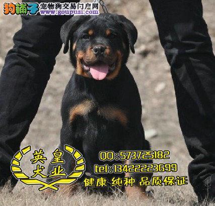 东莞哪里有卖罗威那犬 英皇犬舍