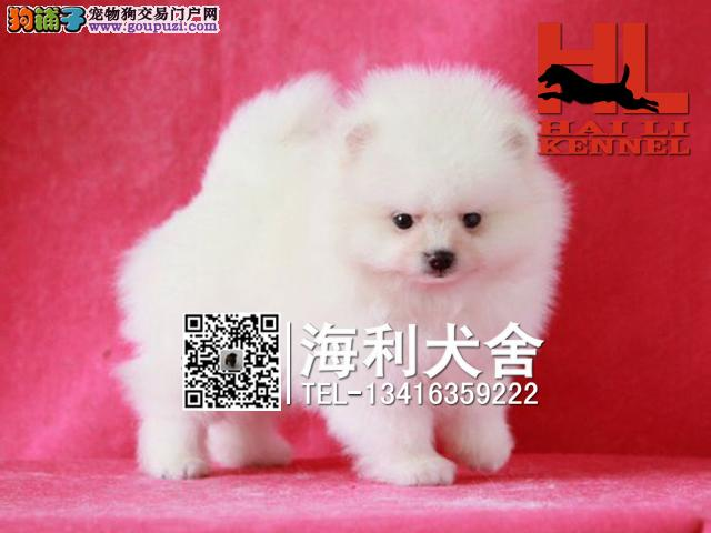 超可爱哈多利版球体博美幼犬出售 健康纯种质保