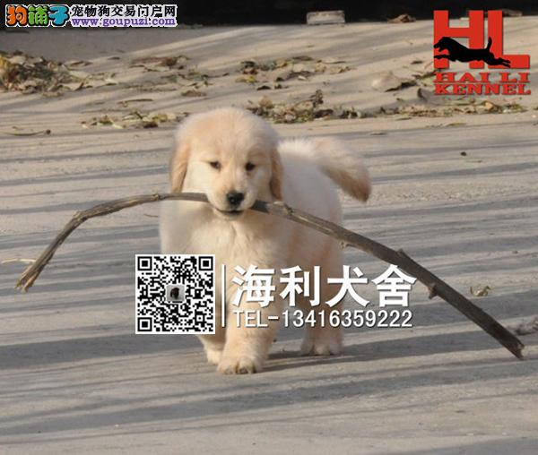 正宗金毛巡回犬 纯种健康金毛猎犬 保证血统