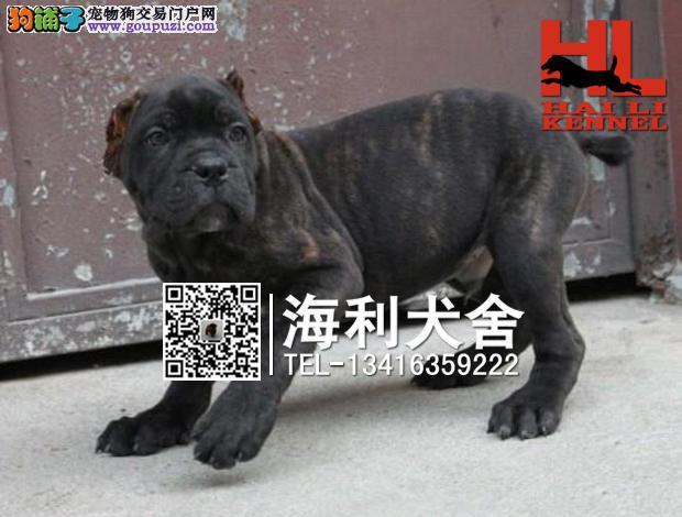 纯种霸气十足 卡斯罗顶级护卫犬幼犬出售