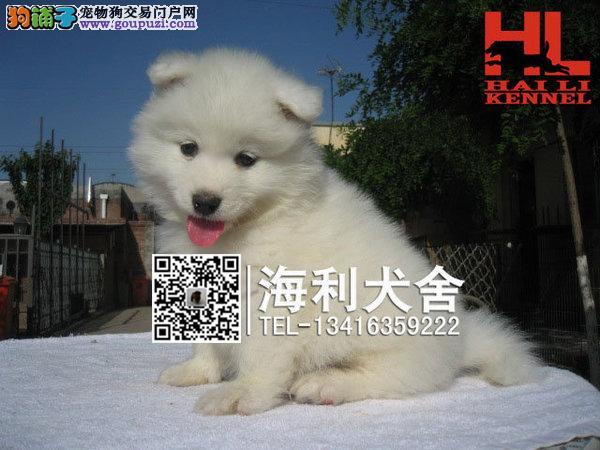 实物拍摄雪白萨摩耶幼犬 保证健康纯种