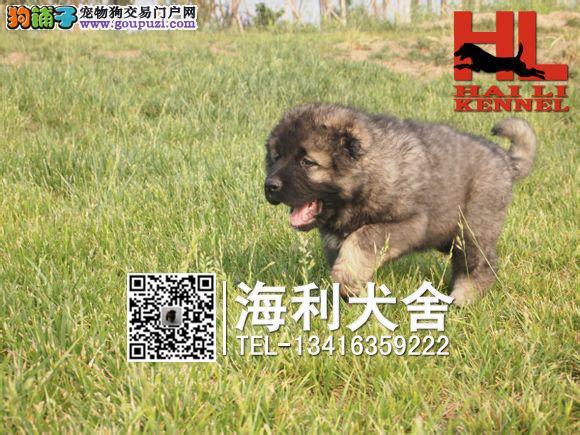 高加索犬专业繁殖基地 大骨板巨型高加索