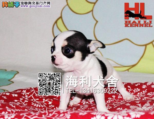 世界第一小吉娃娃犬 热销 血统健康有保证