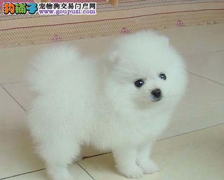 昌都地区哪里能买到纯种宠物犬 西藏哪里买狗最好