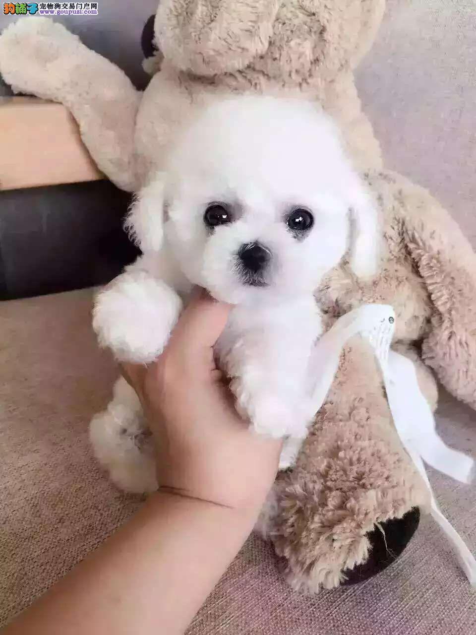 泰迪犬宝宝出售中 注射芯片颁发证书 寻找它的主人