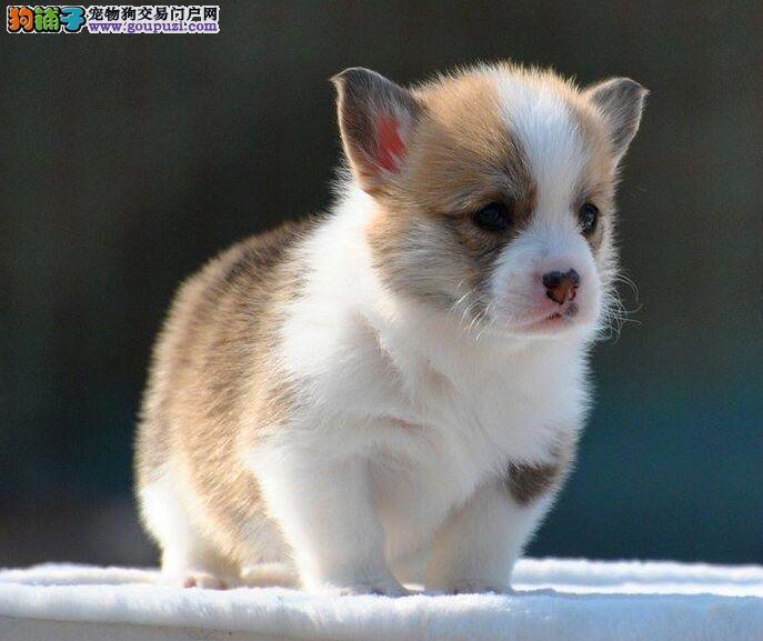 纯种三色两色柯基幼犬出售 保纯保健康有协议