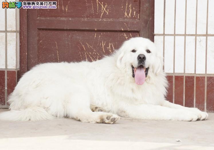爱家名犬基地专业繁殖大白熊 保品质保健康
