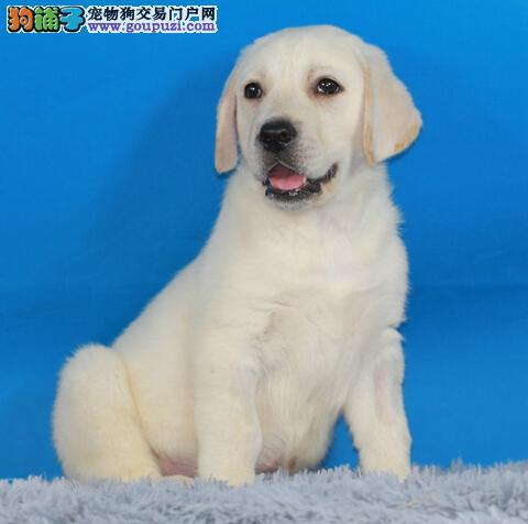 简介拉布拉多犬的品种特征与性情特点高清图片