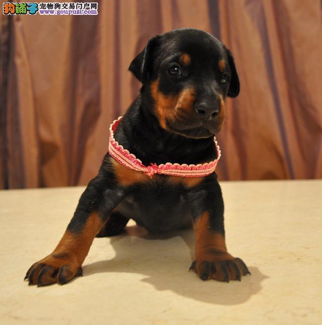 出售杜宾犬幼犬,CKU认证绝对保障,签订终身合同