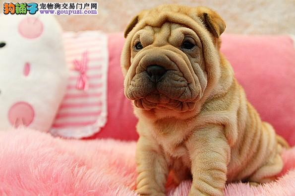AKC注册的超可爱胖乎乎沙皮幼犬 带证书芯片 终身质保