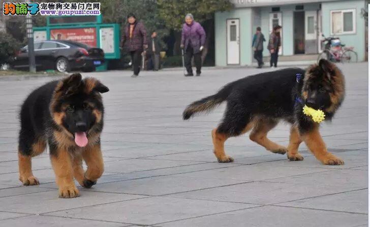 自家繁殖狼狗出售公母都有多种血统供选购