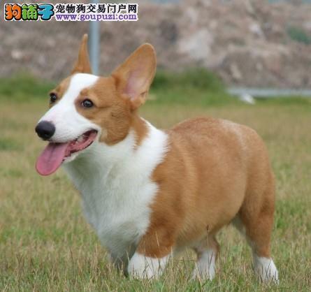 广州买柯基犬到那个狗场有卖柯基犬广州买狗到乐信狗场