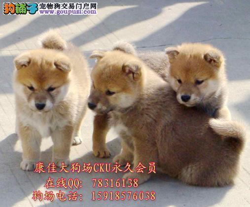 广州哪里买柴犬最好 纯种日系柴犬幼犬 精品柴犬