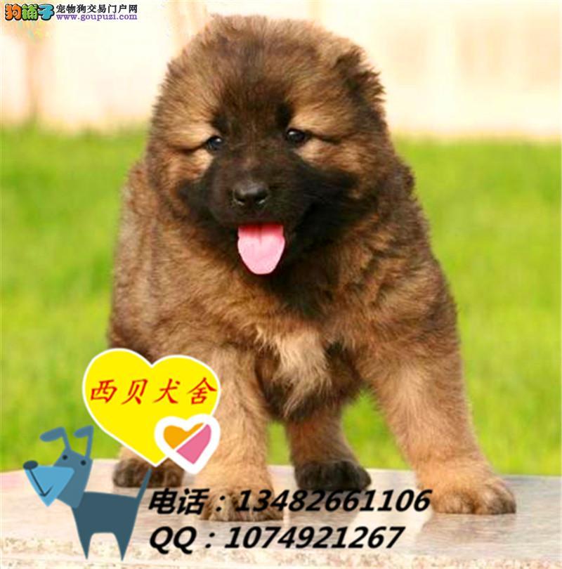 华东区最大的品牌犬舍 赛级精品高加索犬 海量视频