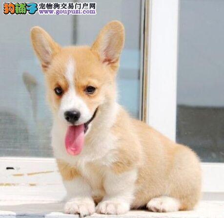 顶级精品威尔士柯基幼犬出售公母均有疫苗齐全